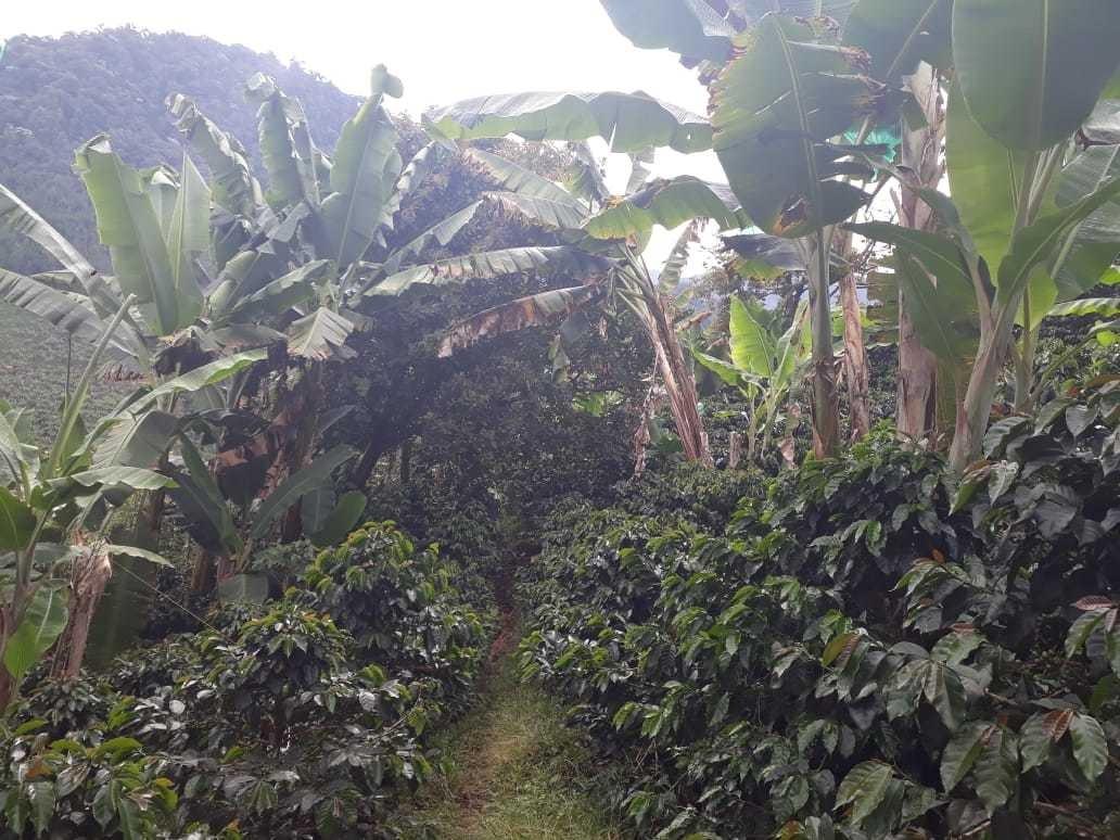 finca café y banano en la vereda floresta jardín antioquia