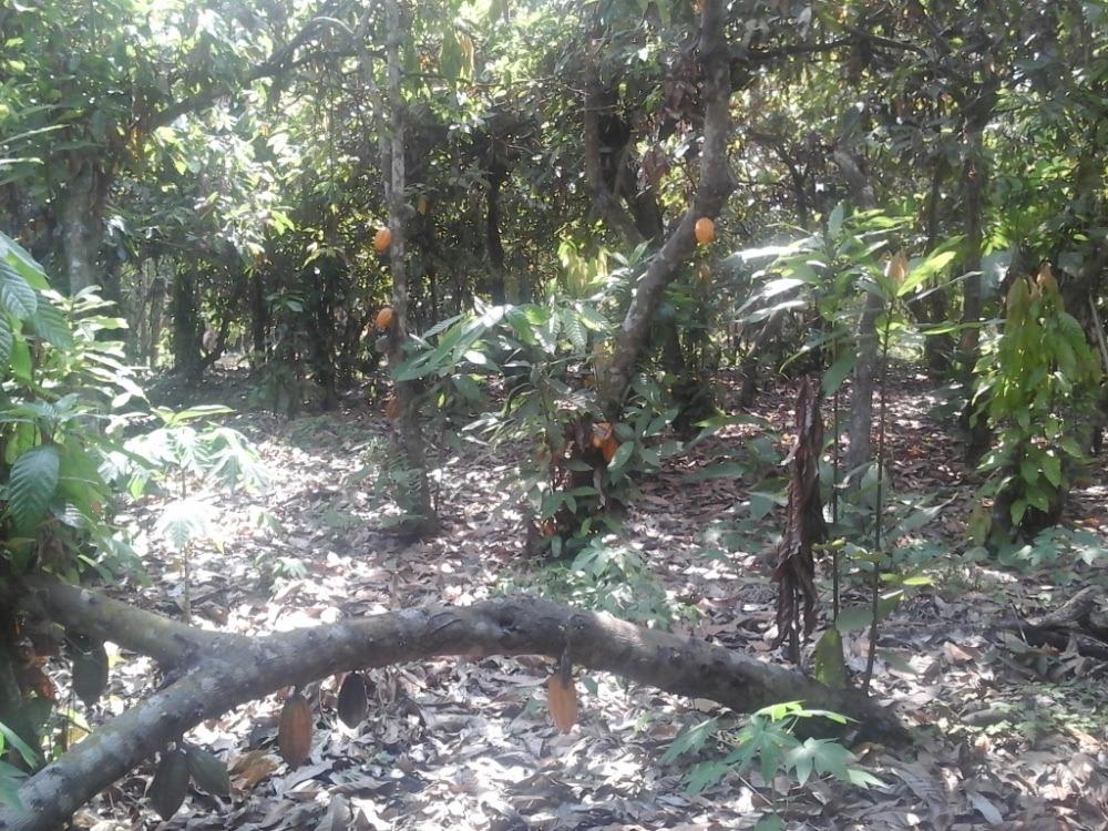 finca con huerta de cacao y terreno para sembrar