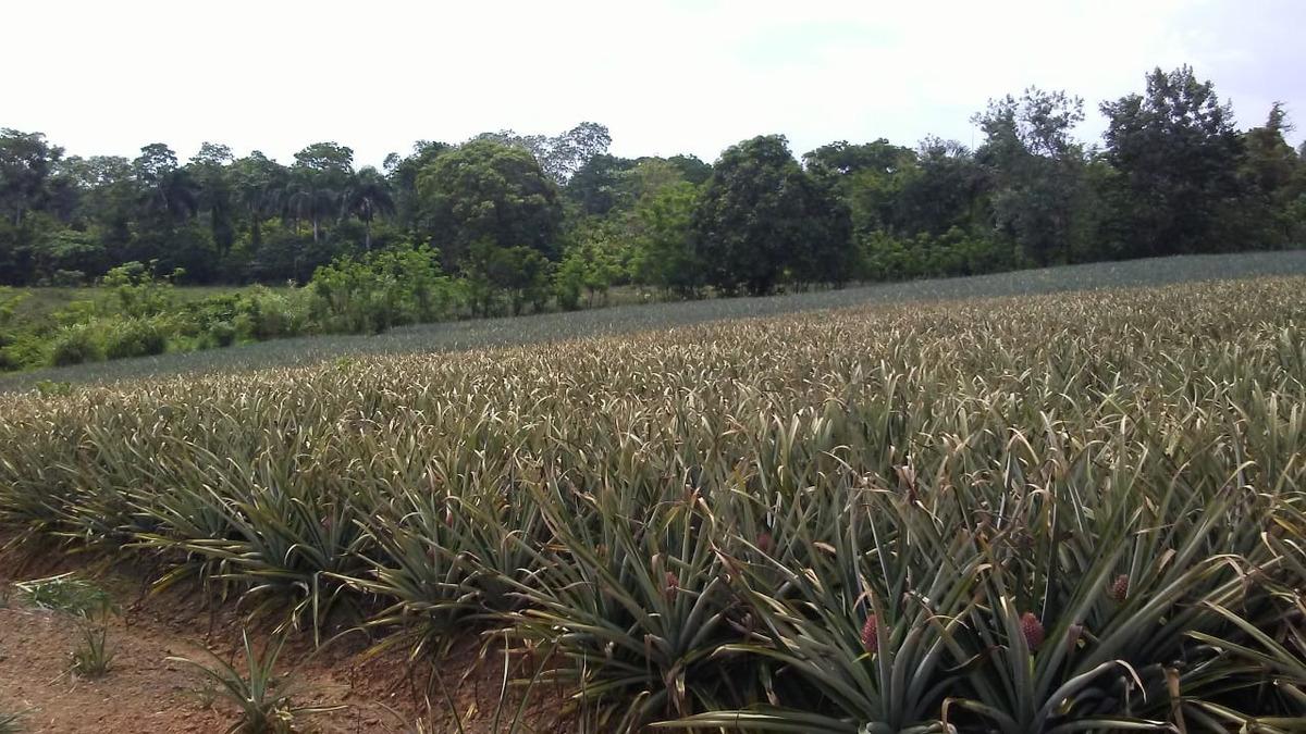finca de 156 tareas sembrada de piña en bayaguana