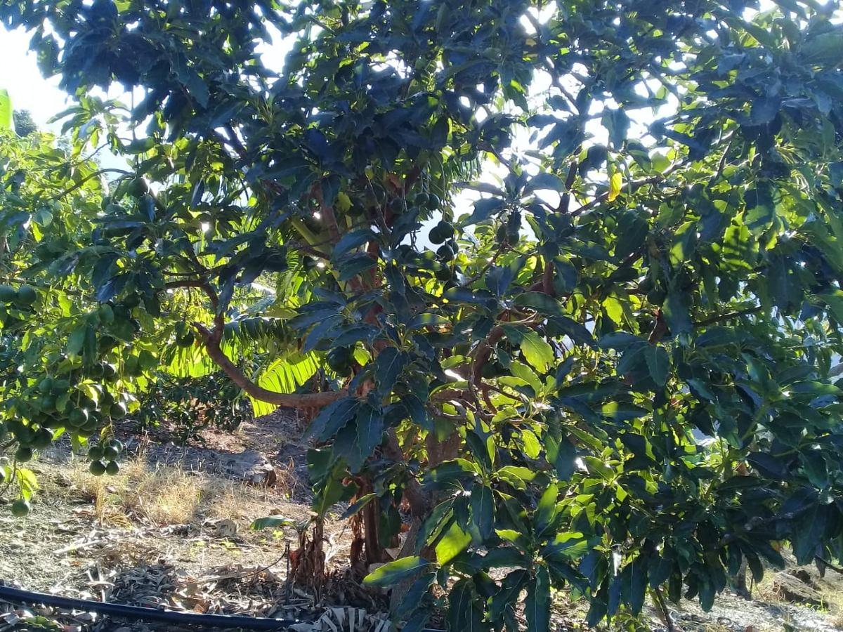 finca de 600 tareas de aguacate en ocoa