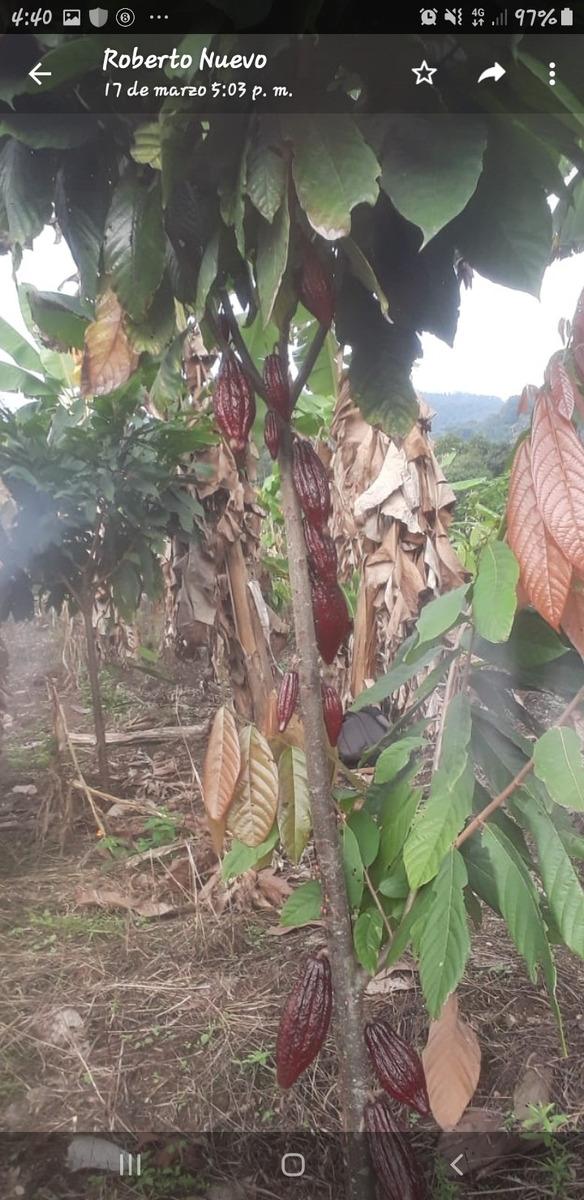 finca de 6.5 hectarea aproximadamente cultivada en cacao