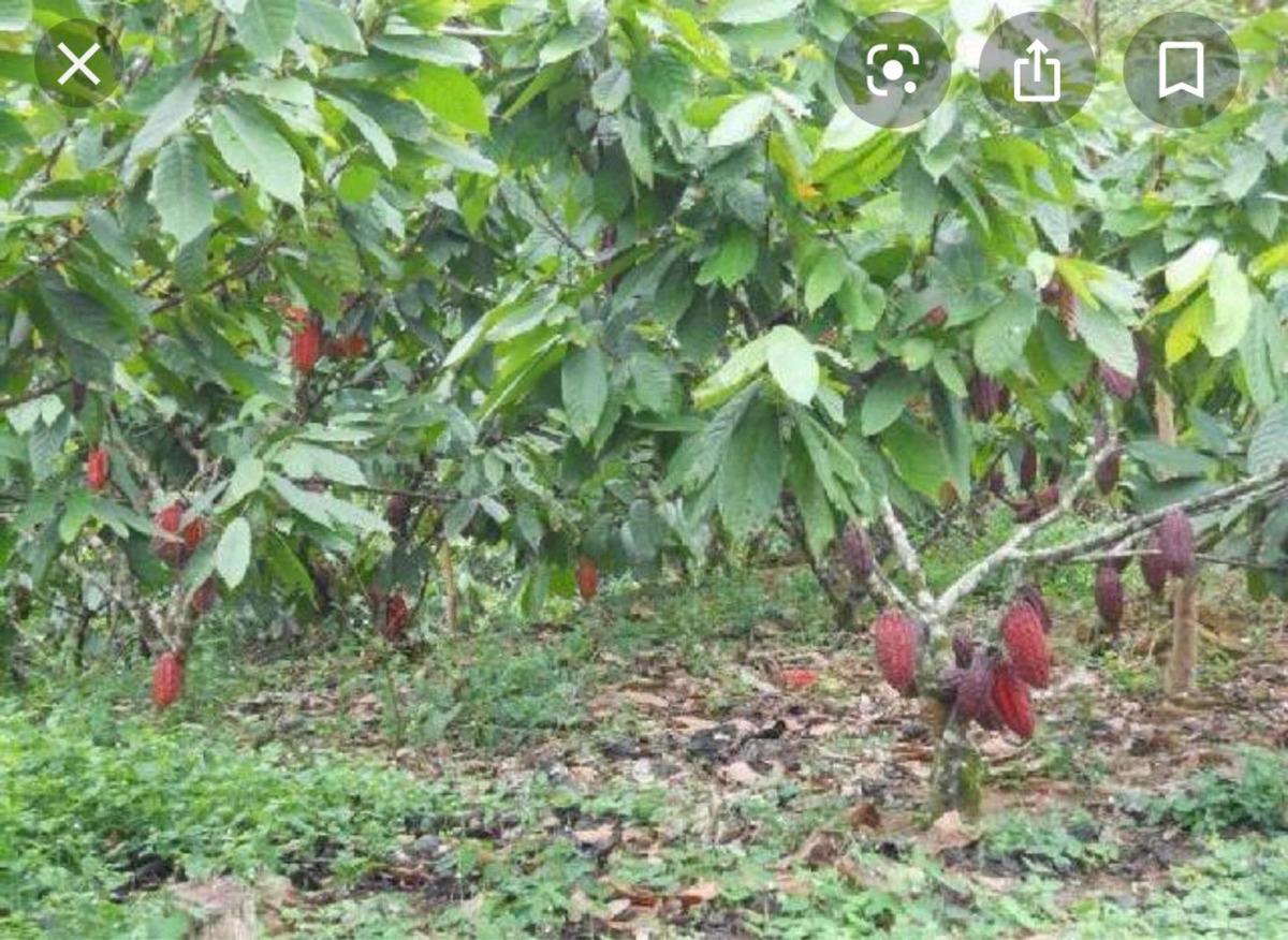 finca de cacao 25.5 tareas, en cabirmota la vega $1,300 m2