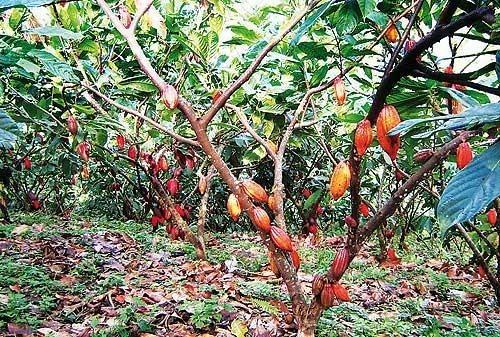finca de cacao en venta