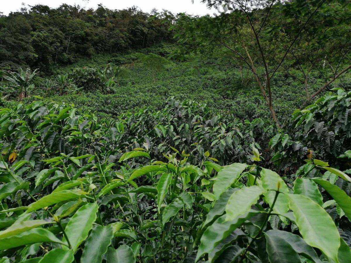 finca de café variedad geisha, importada de panamá.