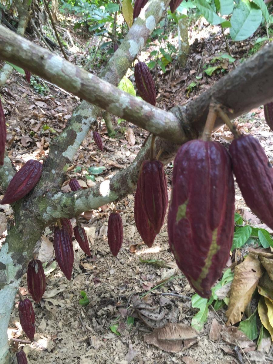 finca de pastos, caucho y cacao, en plena produccion