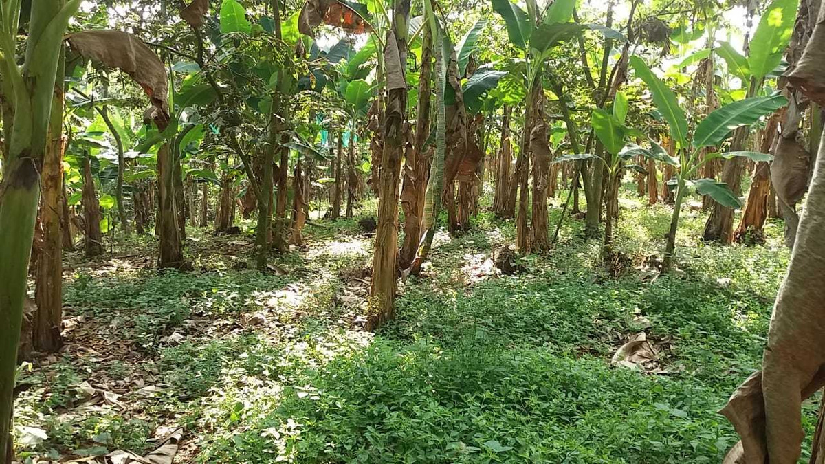 finca platanera sector parque del café