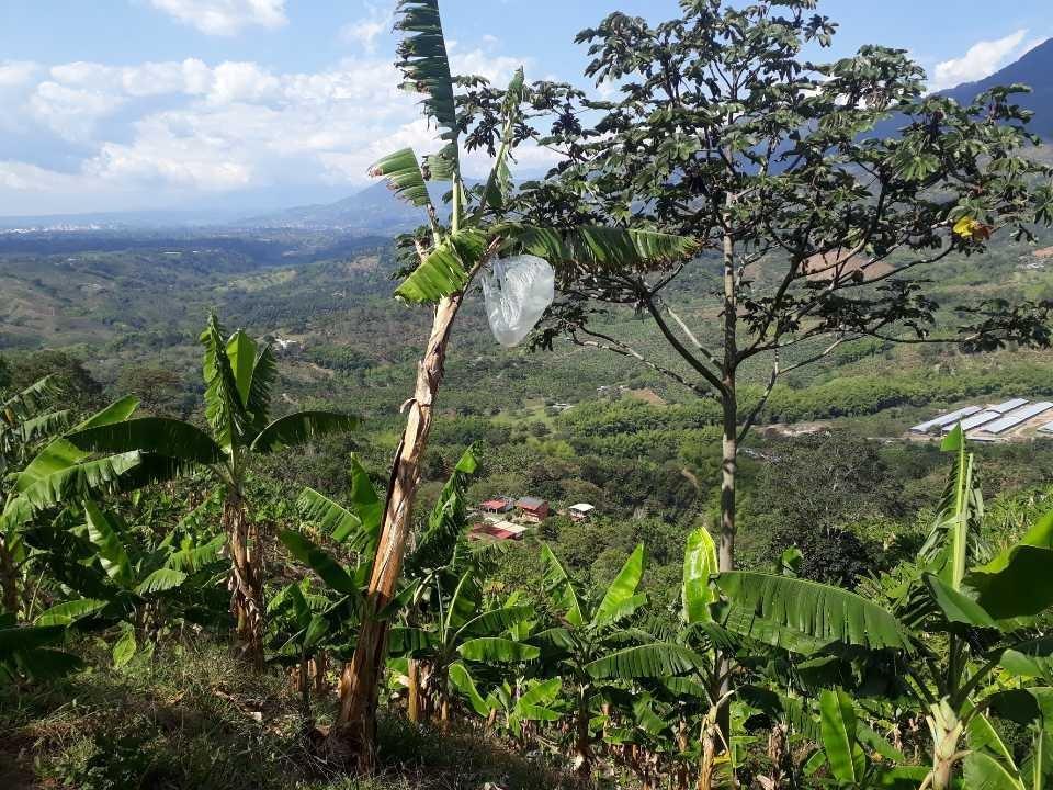 finca productiva café y plátano  en calarca