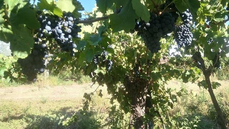 finca uva