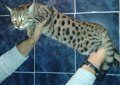 finhotes de gato bengal