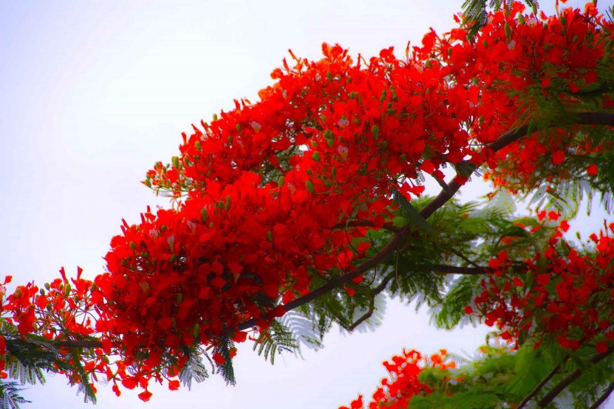 Flamboyant arbol de fuego mudas bien enraizadas 550 for Arbol de fuego jardin