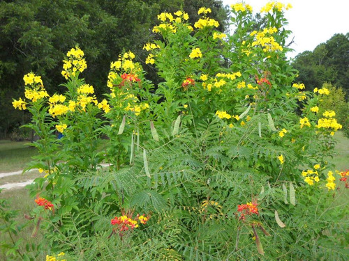 Flamboyant de jardim amarelo sementes raras caesalpinia r 14 98 em mercado livre - Caesalpinia gilliesii cultivo ...