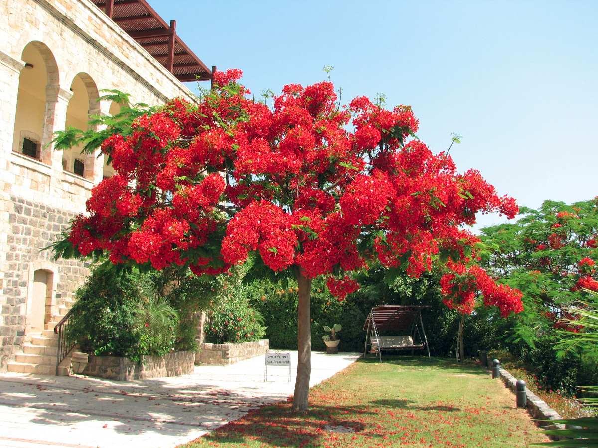Flamboyant vermelho sementes flor para mudas r 14 98 em for Tipos de arboles para plantar en casa