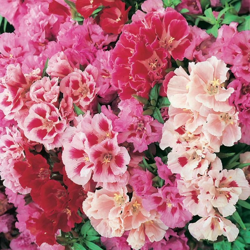 5b7b594b20 flor mini azaleia de cores sortidas para mudas 500 sementes. Carregando  zoom.