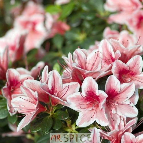 7fa37ac50d Flor Mini Azaleia Sortidas E Multicoloridas 500 Sementes - R  8