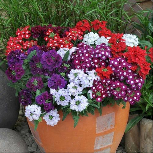 Flor verbena cores sortidas para mudas 60 sementes r 8 - Planta verbena cuidados ...