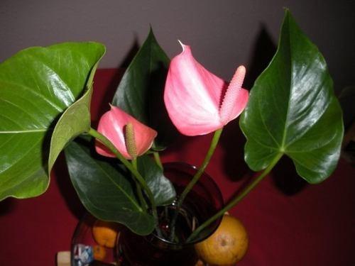 Flores anturios espectaculares colores mix de semillas for Jardines de anturios