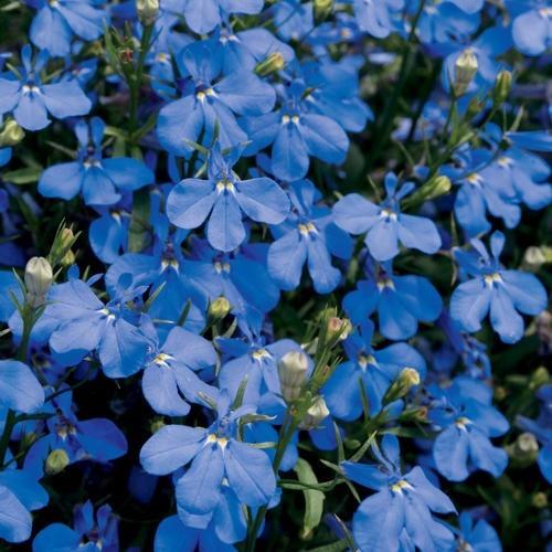 flores jardim lobélia