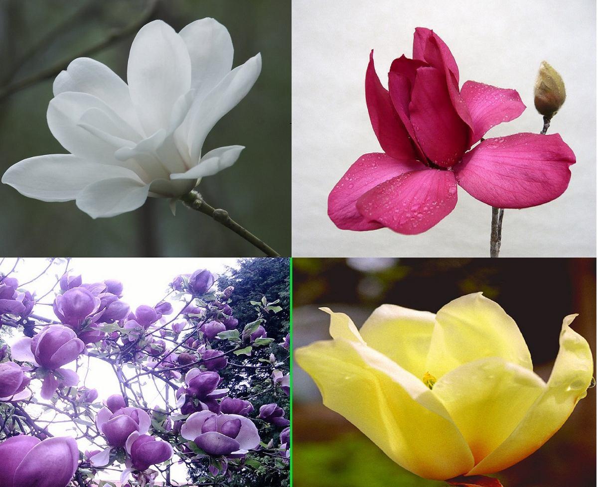 Flores magnolio pack 4 colores semillas seleccionadas - Semilla de magnolia ...