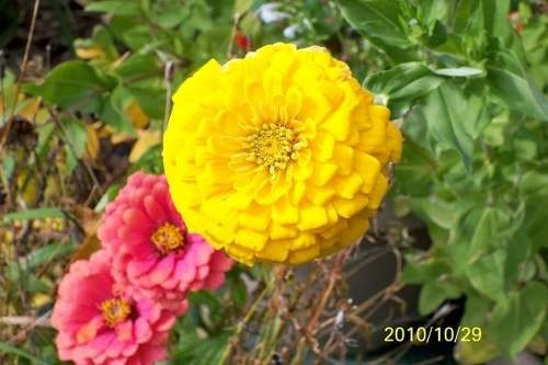 flores zinia gigante o rosa mistica semillas mix colores