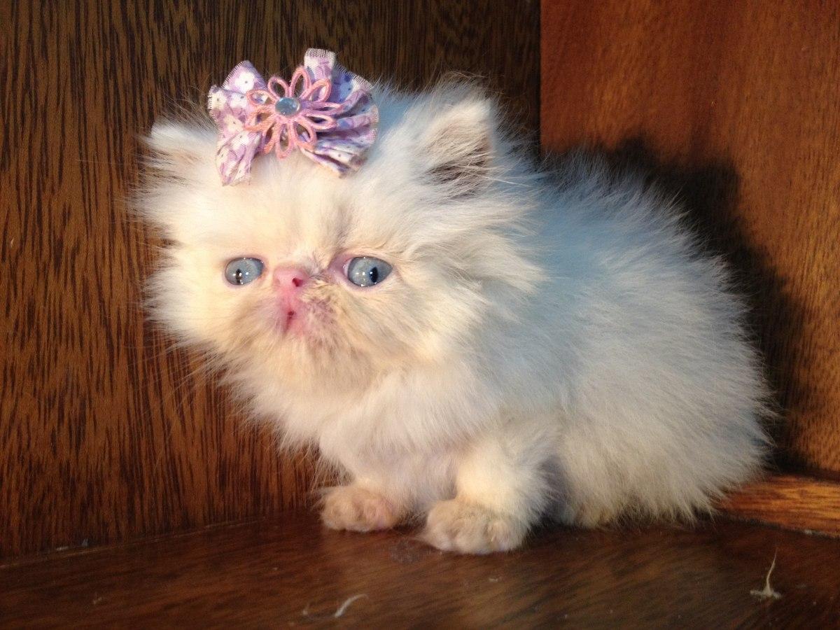 Fêmea Gato Persa Branca Olho Azul - 192.3KB