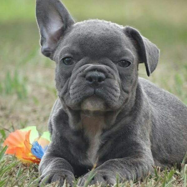 Fêmeas Bulldog Frances Blue R 700000 Em Mercado Livre