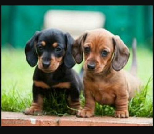 fêmeas de tecktel salsicha basset cofap dachshund enviamos