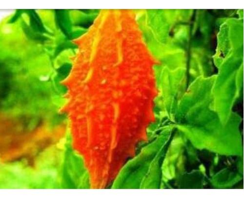 folhas de melão são caitano (1kg) envio imediato