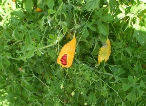 folhas  e melão de são caetano