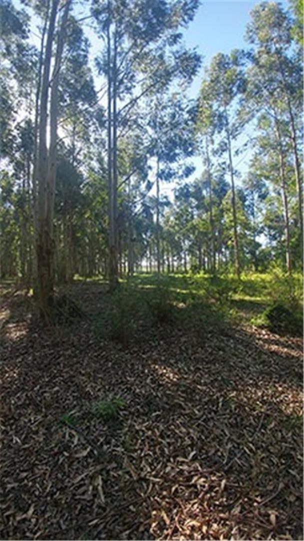 forestacion 700 has - saladas - corrientes