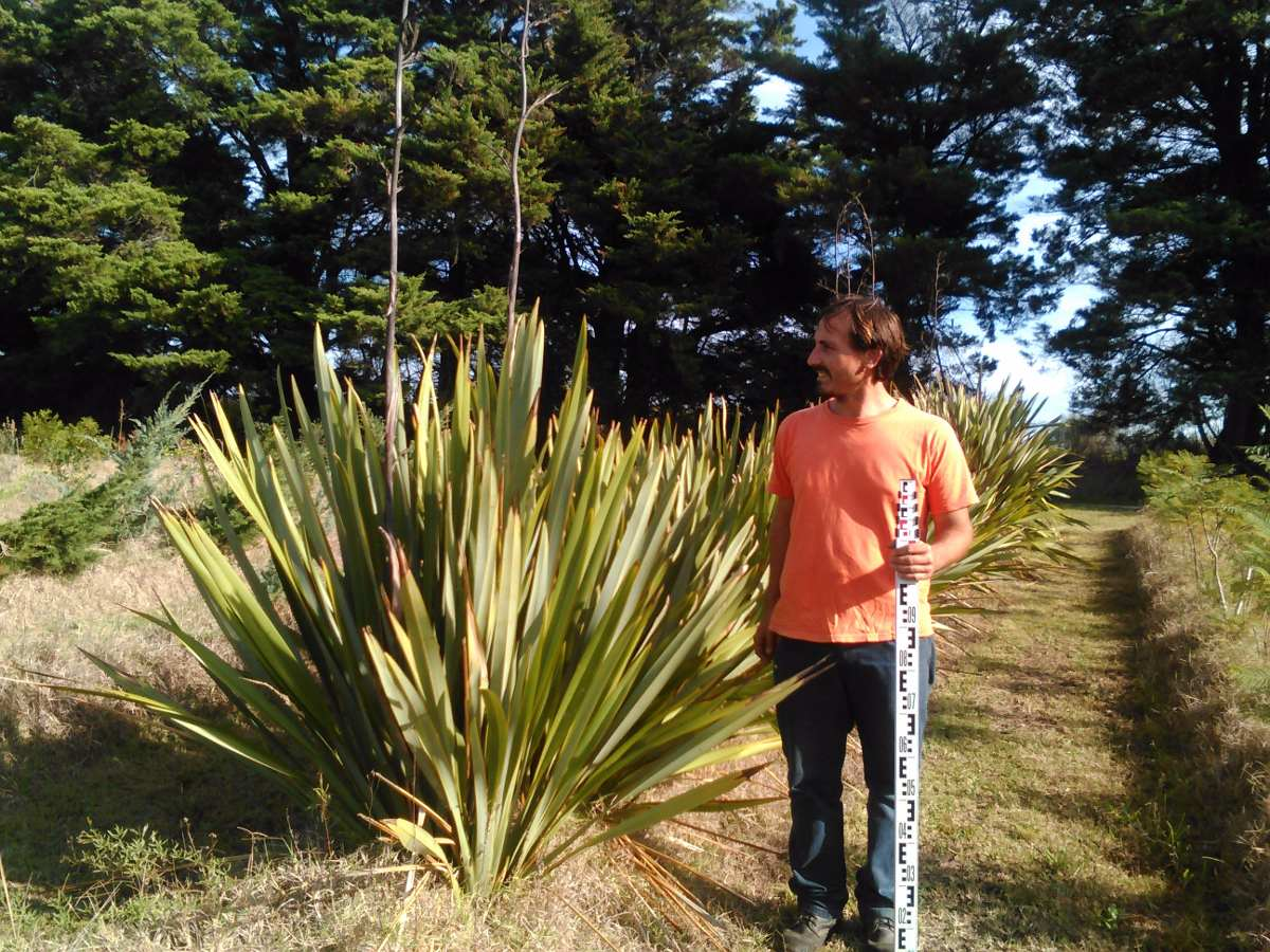 Formios rafias arbustos plantas palmera vivero c sped for Viveros en maldonado