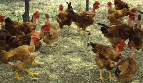 formulas de ração de frango de corte granja e caipiras