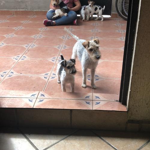 fox terrier cachorros 2 machos una hembra
