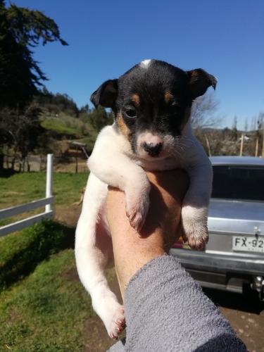 fox terrier chileno
