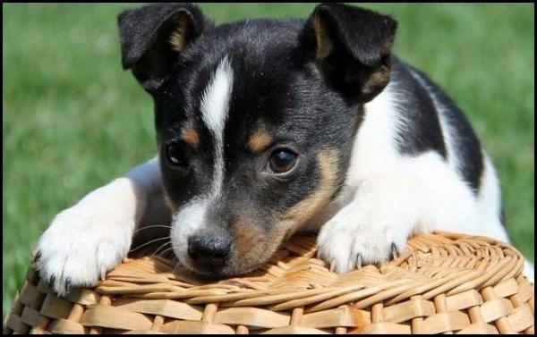 Fotos de fox terrier de pelo corto