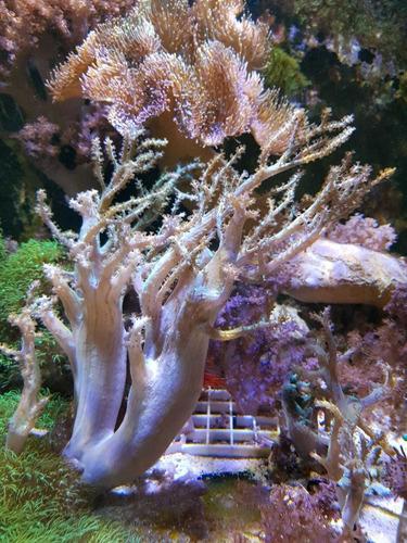 frag de sinularia verde coral reef marino