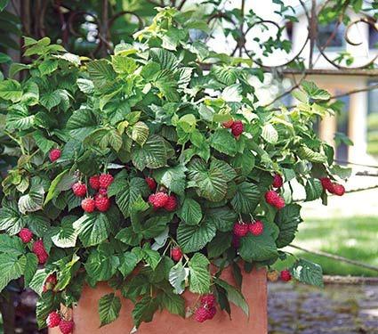 framboesa gigante red raspberry rubus sementes para mudas