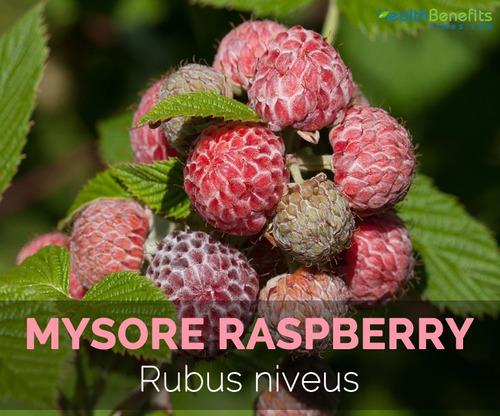framboesa tropical amora rubus niveus rapsberry 30 sementes