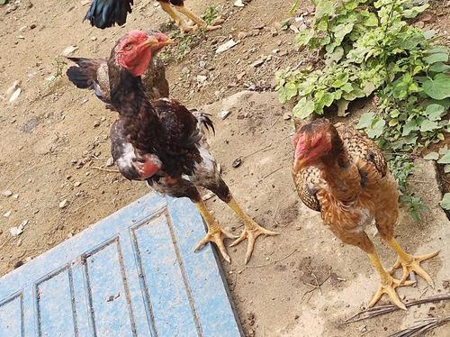 frangos e galinhas indio gigante