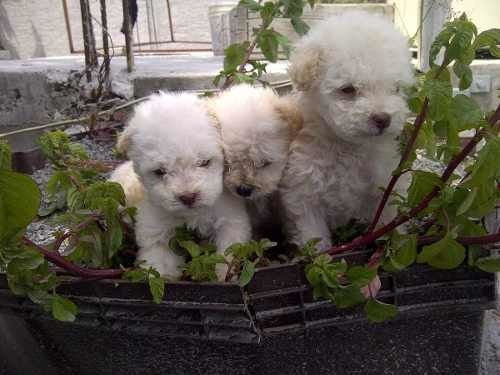frech poodle miniaturas enanos bellos `tacita de t para depa