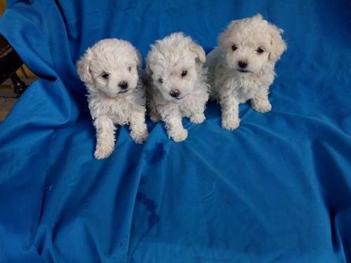 frech poodle minitoy super tiernos ideal para departamentos