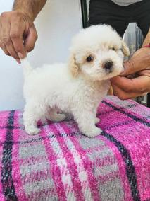 French Poodle Toy Puebla Perros Y