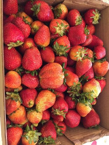 fresas moras al mayor frescas congeladas