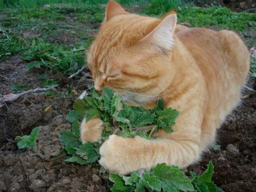 frete grátis + 100 sementes de catnip erva dos gatos nepeta