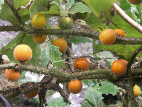 frete grátis + 40 sementes lulo naranjilla solanum quitoense