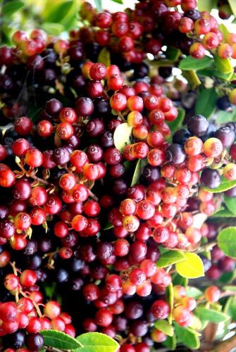 fruta de agraz, mortiño - kg a $15