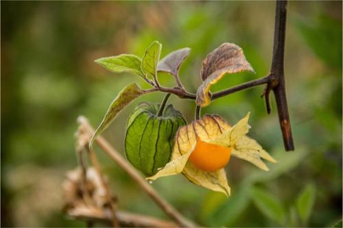 fruta deshidr orgánica fruandes uchuva x 30gr - paquete x 12