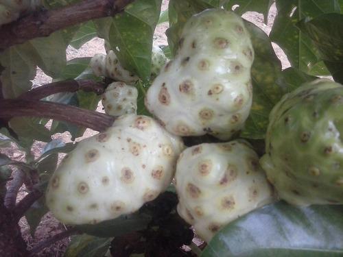 fruta exótica noni