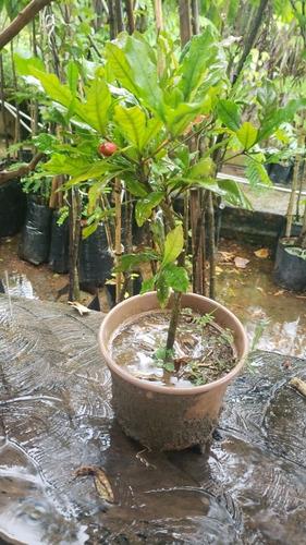fruta milagrosa(synsepalum dulcificum)
