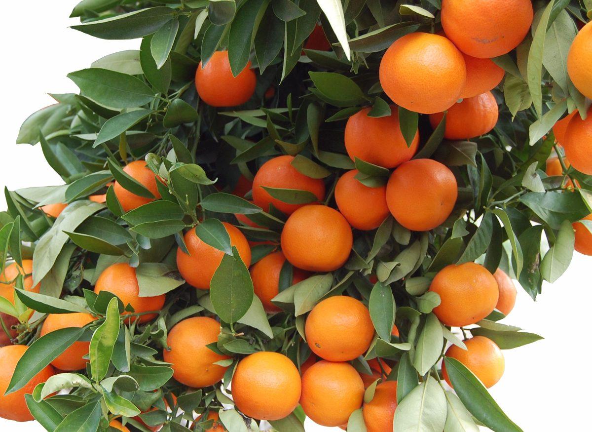 Frutal Mandarina Enana Japonesa Cascara Dulce 235 40 En  ~ Cuando Hay Que Abonar Los Arboles Frutales