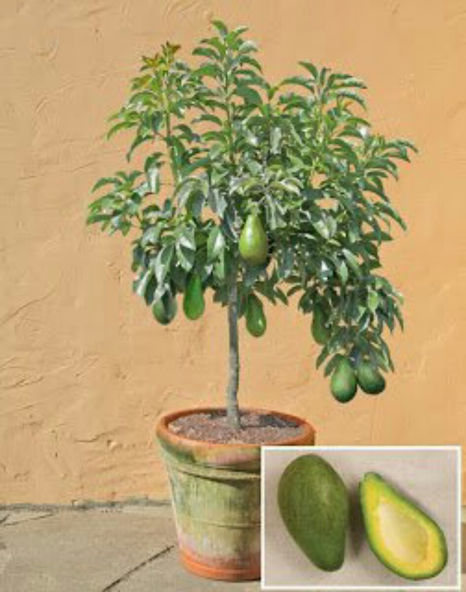Frutales que puedes cultivar sin tener jard n decorativos for Articulos decorativos para jardin